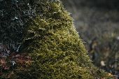 Green Moss On A Tree In The Forest Close-up. Surface Covered With Moss. Macro Moss. Moss In The Fore poster