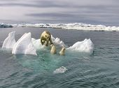 The White She-bear With The Cubs Floats In The Bering Sea. A Polar Bear, A Northern Bear, A Umka (la poster