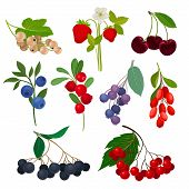 Set Of Different Types Of Berries On A Stem With Leaves. Vector Illustration On White Background. poster
