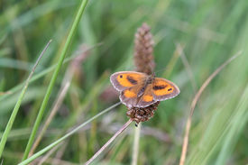 picture of gatekeeper  - Gatekeeper Butterfly (Pyronia tithonus) perched on a leaf ** Note: Soft Focus at 100%, best at smaller sizes - JPG