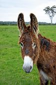 foto of jack-ass  - brown coloured adult female donkey shedding scruffy winter coat and watching photographer - JPG