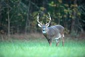 Large Whitetail Deer