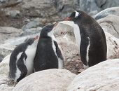 Gentoo Penguin Family In The Rocks.