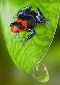 red frog on leaf in tropical Amazon rain forest of Peru, poison dart frog Dendrobates benedicta exotic rainforest animal