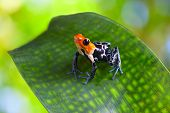 stock photo of orange poison frog  - poison arrow frog ranitomeya fantastica of tropical Amazon Rain forest in Peru poisonous animal with warning colors - JPG
