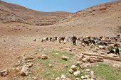 pic of samaria  - Herd of Goats Grazing in the Mountains of Samaria Israel - JPG