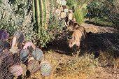 Arizona Bobcat Prowling