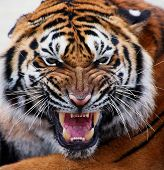 pic of tigress  - close up of a tiger - JPG