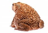 Toad Sit On  White Background