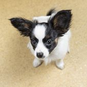 stock photo of linoleum  - Cute Puppy Papillon sitting on yellow linoleum floor - JPG