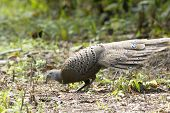 Grey Peacock-pheasant :polyplectron Bicalcaratum