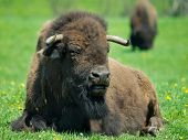 foto of female buffalo  - Adult buffalo resting on grass during hot summer day - JPG