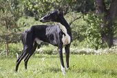 Hort Greyhound
