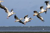 Pelicans In Beautiful Formations
