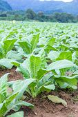 foto of tobacco barn  - Tobacco plantation - JPG