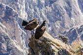 Three Condors At Colca Canyon Sitting,peru,south America. This Is A Condor The Biggest Flying Bird O