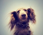 miniature long haired dachshund with blue sky done with a retro