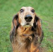 stock photo of long-haired dachshund  - a cute dog at a local public park - JPG