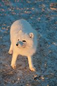 pic of arctic fox  - An arctic fox searches for food in the snow near Churchill Manitoba