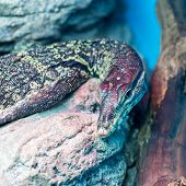 stock photo of monitor lizard  - Head of water monitor lizard  - JPG