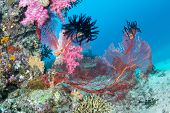 Beautiful, pink tropical underwater corals with a large red seafan on a reef surrounded by clean, blue water.