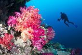 Scuba diver swims by a beautiful tropical reef full of vibrant purple and orange soft corals.