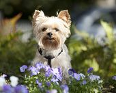 stock photo of yorkshire terrier  - yorkshire terrier outside in flowers - JPG