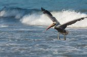 Fun with Pelicans - Ocean Landing