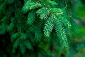 Closeup Of Blue Fir Tree Or Pine Branches