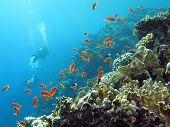 coral reef with divers and exotic fishes anthias at the bottom of tropical sea