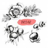 Briar. Wild rose