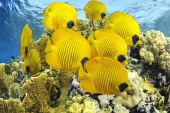stock photo of coral reefs  - A school of yellow butterfly fishes from Brothers Island - JPG