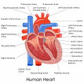 foto of coronary arteries  - vector illustration of diagram of human heart anatomy - JPG