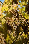 Trauben für Jurancon Wein