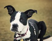 stock photo of pitbull  - A black and white pitbull puppy posing for his adoption photo to get rescued - JPG