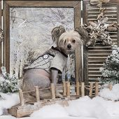 Dressed-up Chinese crested dog in a winter scenery, 9 months old