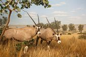 stock photo of antelope  - Two Gemsbok African Antelope in the Grasslands - JPG