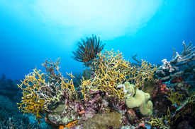 stock photo of fire coral  - Dangerous fire coral lines a tropical reef in Fiji while a crinoid feeds on plankton suspended in the water column - JPG