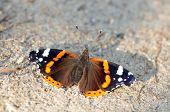 Red Admiral (Vanessa atalanta).Butterfly.