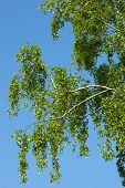 Betula Pendula, Birch