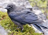 An old Raven, Corvus corax on the ground in close-up.