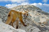 Wild fox on a peak rock look in camera