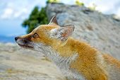 Red orange wild fox looking  close up