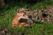 White-tailed Deer (odocoileus Virginianus) Fawn Looks Right