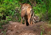 Coyote Pup (canis Latrans) Looks Out From Den While Adult Digs