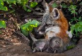 Grey Fox (urocyon Cinereoargenteus) And Kit Lying In Den