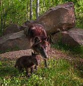 Black Wolf (canis Lupus) And Pup Intense Look