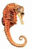 Seahorse Fish Isolated