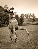Great Dane trying to catch ball in sepia