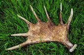 Horns Of An Elk